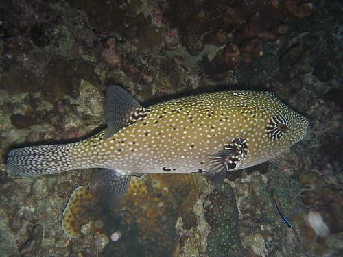 Mappa Puffer Fish (Arothron Mappa)