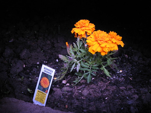 Marigolds of the Wee Hours 1