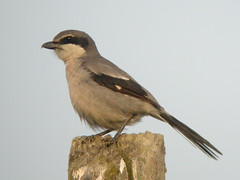 Southern Grey Shrike, near Mértola (Portugal), 24-Apr-06