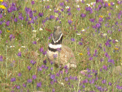 Little Bustard, between Mértola and Castro Verde (Portugal), 24-Apr-06
