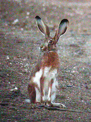 Iberian Hare, Mértola - Castro Verde (Portugal), 24-Apr-06
