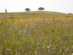 flowers, Mértola - Castro Verde, 24-Apr-06