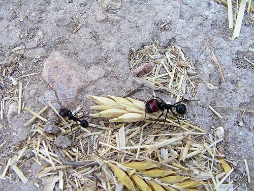 Hormiga recolectando