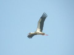 White Stork, Castro Marim (Portugal), 1-May-06