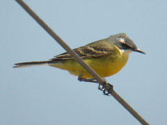 Iberian Yellow Wagtail, Ludo Farm (Portugal), 1-May-06