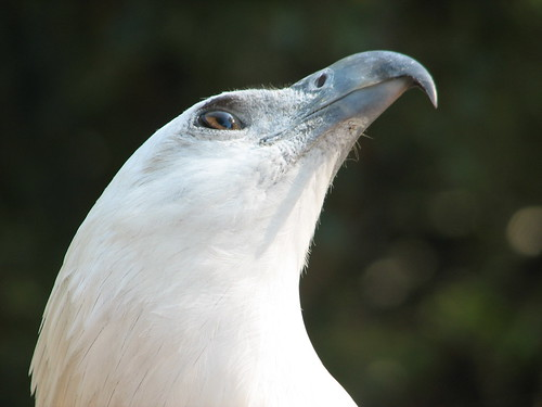 'Terence'White-Bellied Sea Eagle
