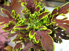 Coleus 'Show and Tell?'