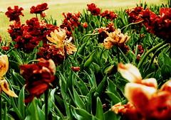 The tulip kingdom at dusk