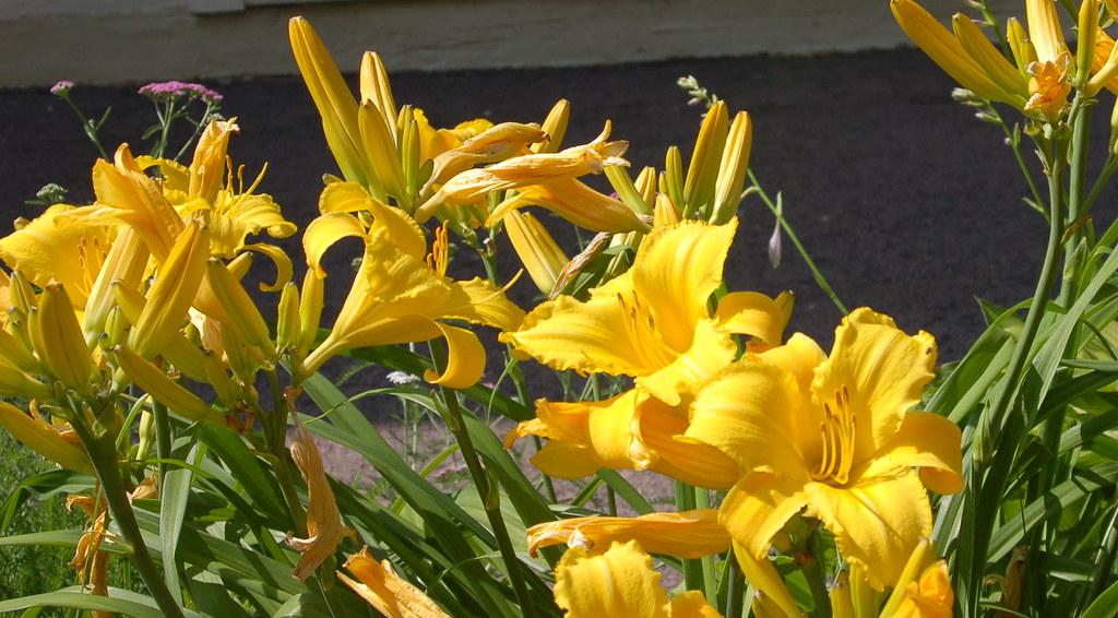 driveway lilys