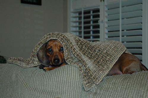 weiner in a blanket
