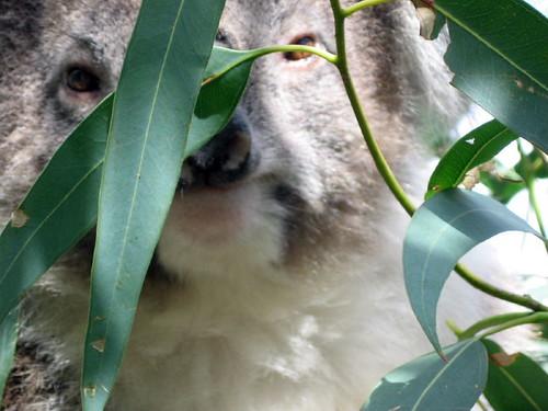 koala close