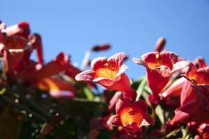 flores_trumpetpic