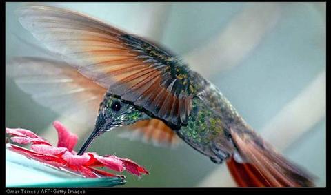 vol de colibri