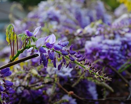 wisteria macrobotrys