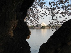 Jefferson Memorial through a Cherry Tree