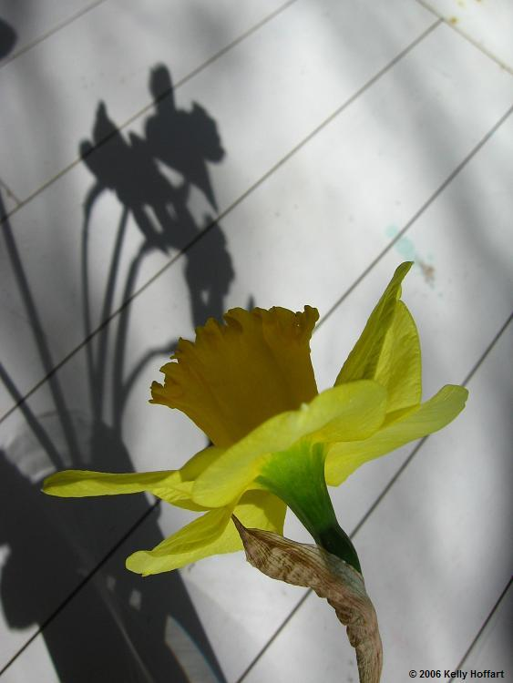 IMG_2219 - Daffodil and Shadow