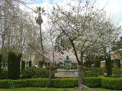 Sonoma Park - Cherry blossom