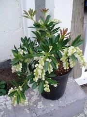 Bell shrub