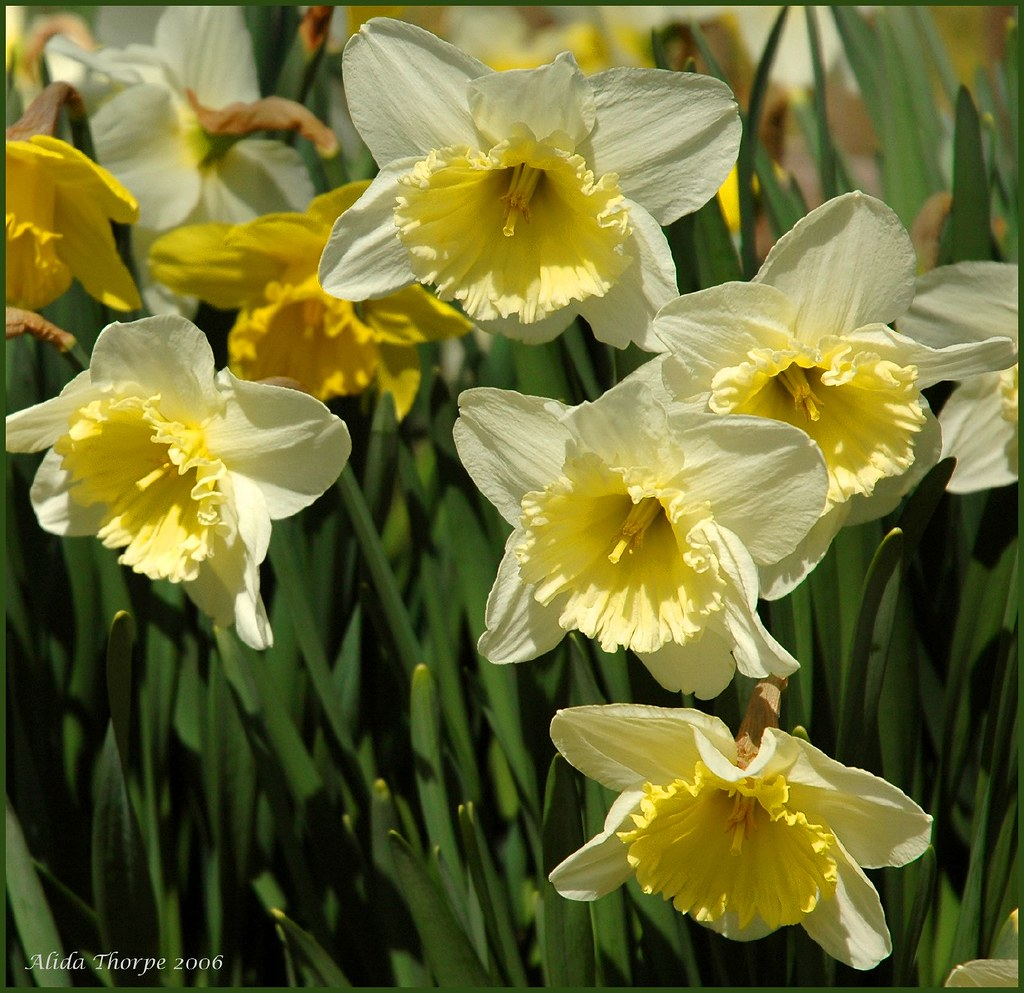 daffodils in April