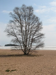 Tree at Hanko Beach during Springtime
