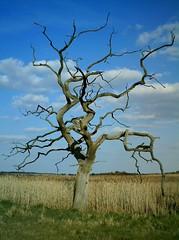 Tree at Snape