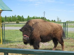 A cool bison