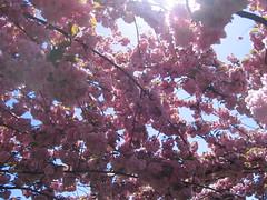 Cherry Blossom Festival @ BBG