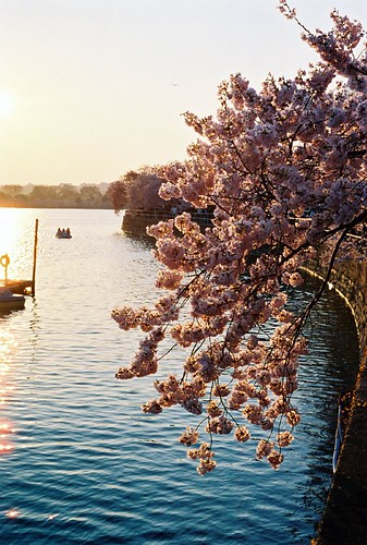 Sunset on the Cherry Blossoms
