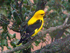 Golden Oriole, N of Bispo (Portugal), 16-Apr-06
