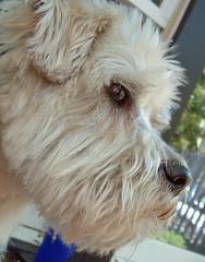 Henry: white terrier