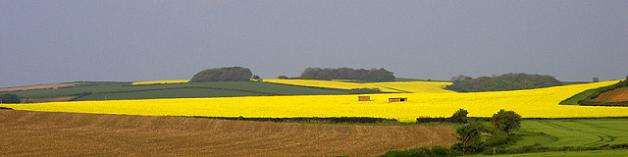 Campos amarelos