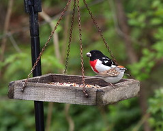 Grosbeak & Chipping