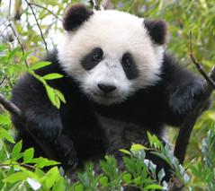 Legendary Panda Cub tree climber, Su Lin