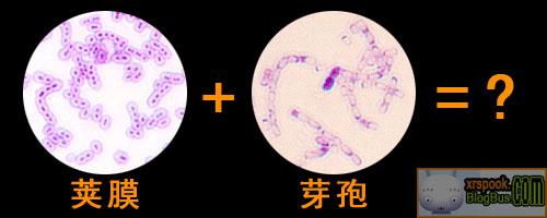 芽孢+荚膜