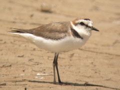 Kentish Plover, Castro Marim (Portugal), 30-Apr-06