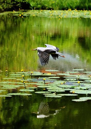 Heron volant !!