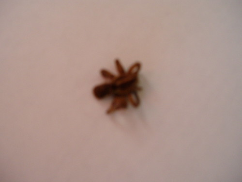 baby brown recluse spider size