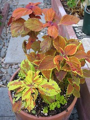 Coleus Pot #13 (The Oranges)