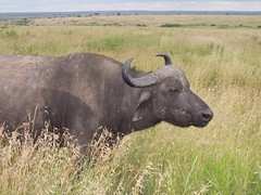 Water Buffalo in Nairobi National Park