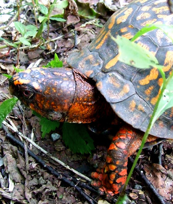 railroad-crossing box turtle