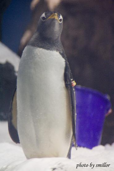 企鵝館內活潑好動的極地企鵝 ( 比較之下台北木柵動物園好像有點遜 )