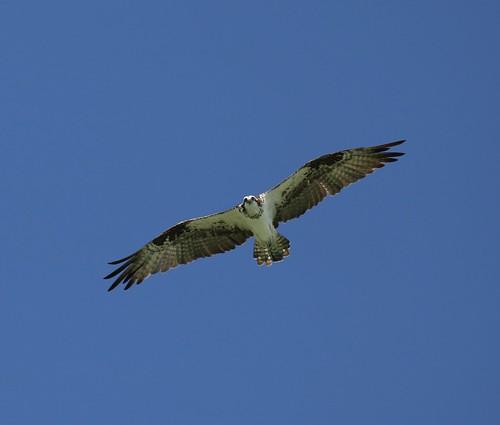 Osprey - Rio Lagartos, Yucatan