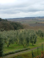Curina ,gli ulivi