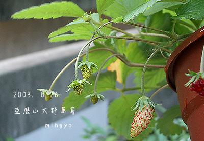 亞歷山大野草莓_果實