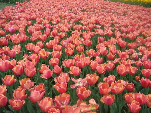 orange_tulips_1