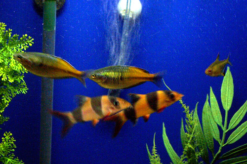 clown loaches and rainbows