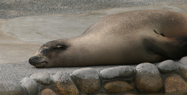Sleeping Sealion