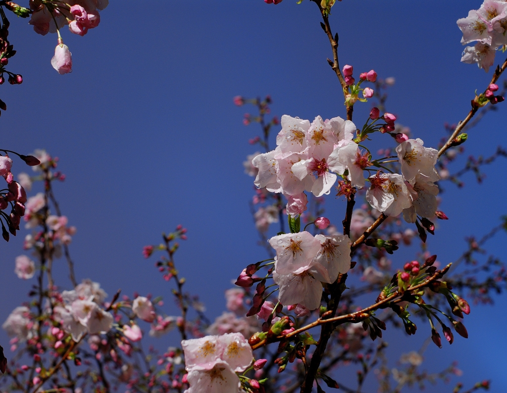 Sakura - Flowering Cherry Blossoms