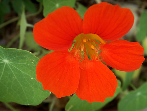 A Shout Out from Nasturtium