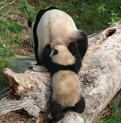 Superpanda pushes 240 pounds off the log!